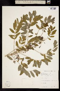 Cassia hebecarpa image