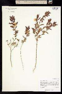 Image of Cassia brachiata