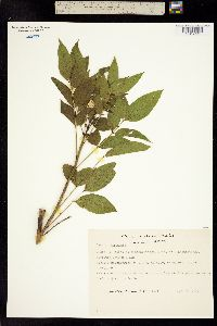 Cassia holwayana image