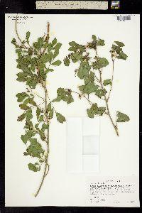 Cassia picta image