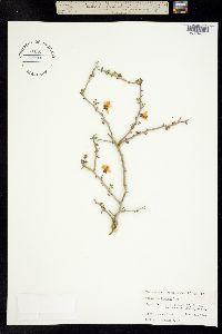 Image of Cercidium texanum