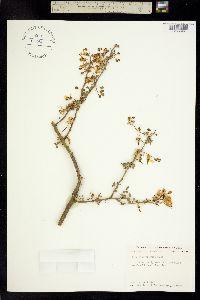 Image of Cercidium macrum