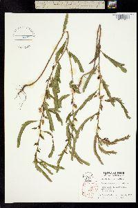 Image of Chamaecrista fasciculata