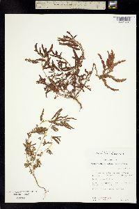 Image of Chamaecrista nictitans
