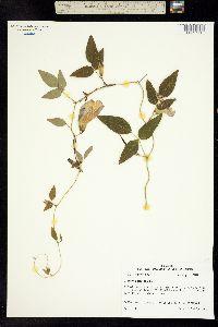 Image of Clitoria mariana