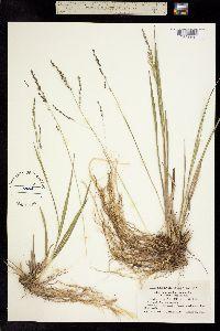 Image of Panicum longifolium