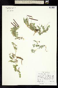 Image of Coursetia glabella
