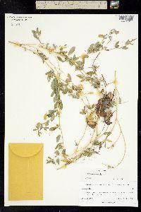 Image of Crotalaria pumila