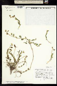 Image of Crotalaria rotundifolia