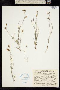 Image of Crotalaria purshii