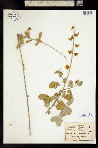 Image of Crotalaria longirostrata