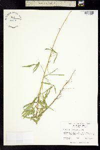 Image of Crotalaria lanceolata