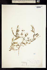 Image of Crotalaria ovalis