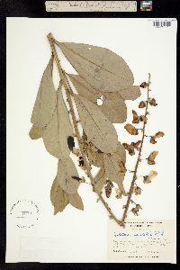 Image of Crotalaria spectabilis