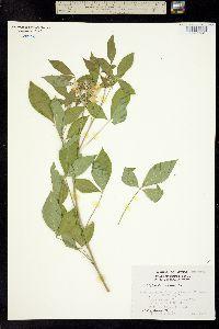 Image of Crotalaria vitellina