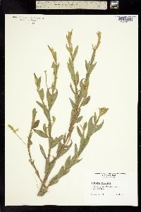 Image of Crotalaria stipularia