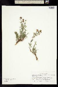 Image of Dalea frutescens
