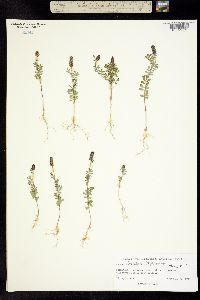 Image of Dalea obreniformis