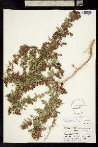 Image of Dalea scandens