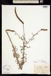 Image of Dalea phleoides