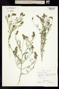 Image of Dalea urceolata