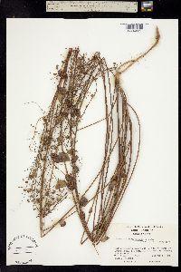 Image of Desmodium marilandicum