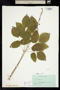 Image of Desmodium nudiflorum