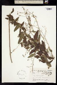 Image of Desmodium perplexum