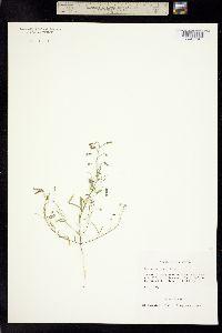 Desmodium rosei image