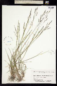 Puccinellia nutkaensis image