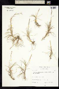 Puccinellia phryganodes image