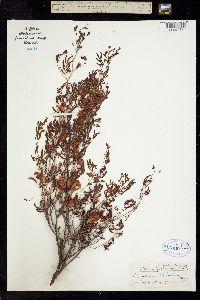 Image of Acacia filiculoides