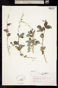Image of Desmodium lineatum
