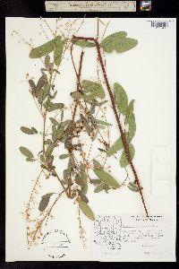 Image of Desmodium cinerascens