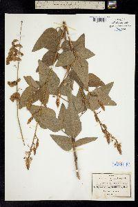 Image of Desmodium lindheimeri