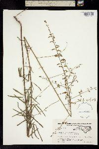 Image of Desmodium tenuifolium