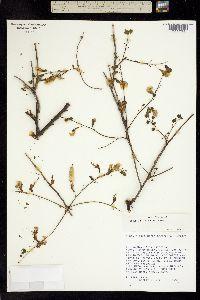 Diphysa racemosa image