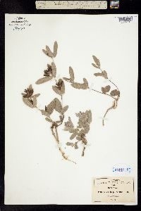 Eriosema pulchellum image