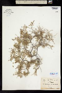 Image of Eysenhardtia spinosa