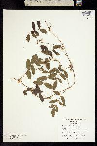Image of Galactia elliottii