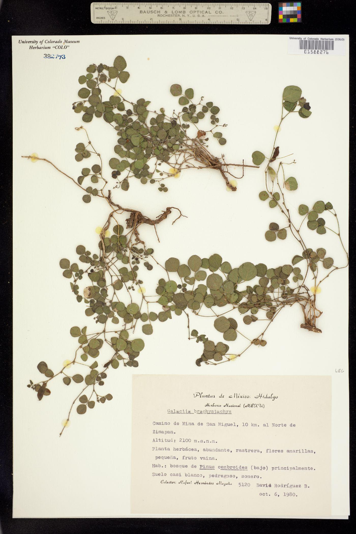 Galactia brachystachys image