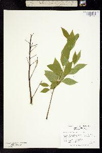Image of Gymnocladus dioicus