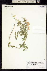 Image of Hedysarum sulphurescens