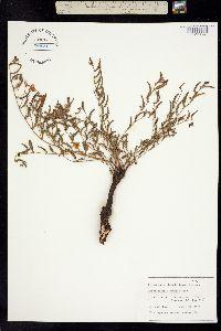 Caesalpinia caudata image