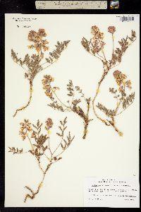 Image of Caesalpinia repens
