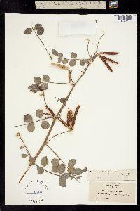 Image of Hosackia crassifolia