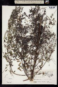 Image of Indigofera caroliniana