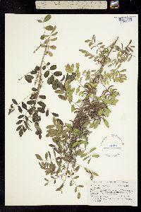 Image of Indigofera lindheimeriana