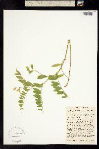 Image of Lathyrus delnorticus