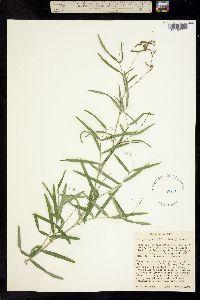 Lathyrus graminifolius image